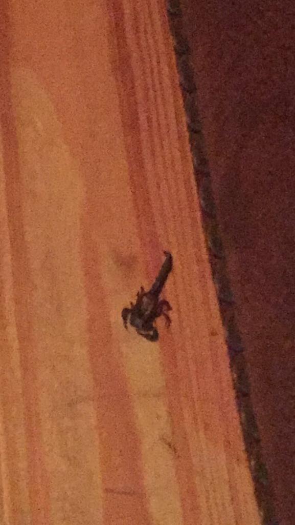 Scorpion in the Blue Ridge Mountain cabin